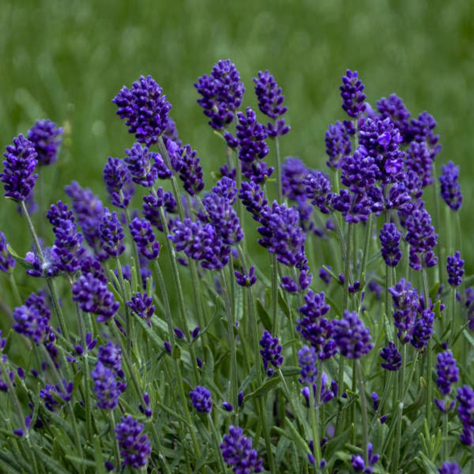 Lavandula 'lavance deep purple' - 1 qt