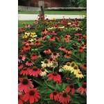 "4"" Perennial\ Cone Flower - Echinacea Cheyenne Spirit"