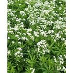 """4"""" Perennial\ Galium 'sweet woodruff' - 4"""""""