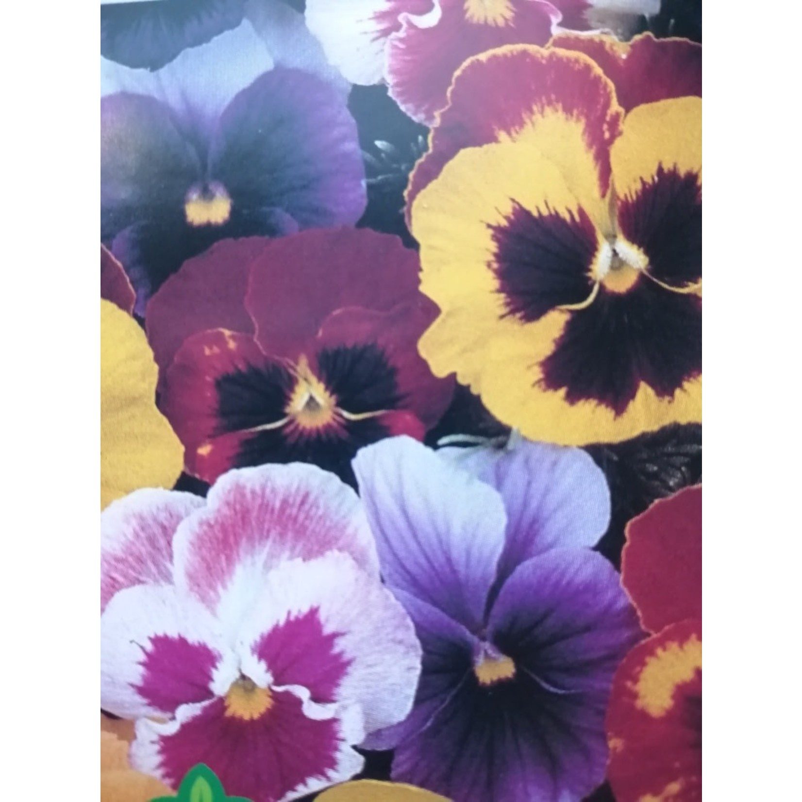 Pansy (seed pkg) - Super Swiss Giant Mixed