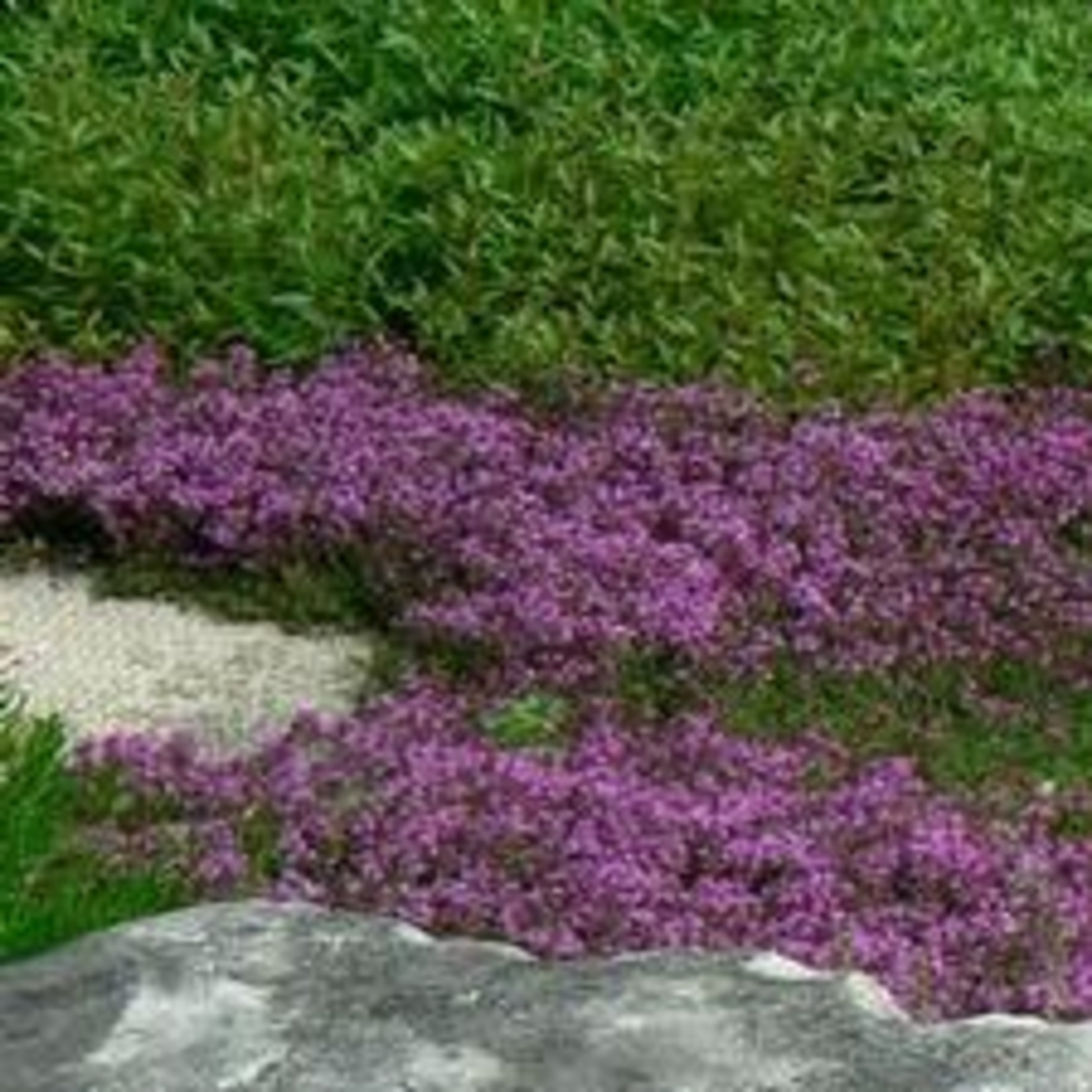 """4"""" Perennial\ Thyme 'red creeping' - 4"""""""