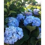 Hydrangea 'endless summer'