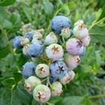 Blueberry - Vaccinium 'Bluecrop'