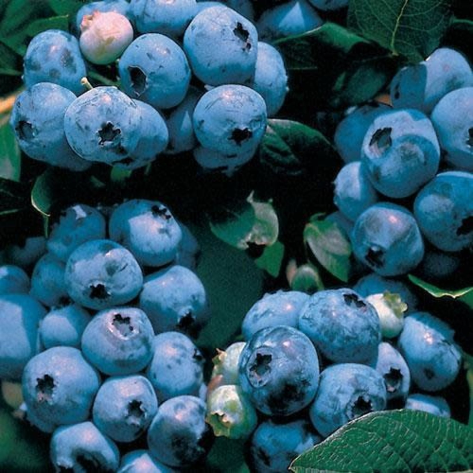 Blueberry - Vaccinium 'Blueray' - 2 gal