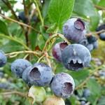 Blueberry - Vaccinium 'Duke' - 2 gal