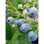 Blueberry - Vaccinium 'Patriot' - 1 gal
