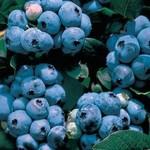 Blueberry - Vaccinium 'Polaris' - 1 gal