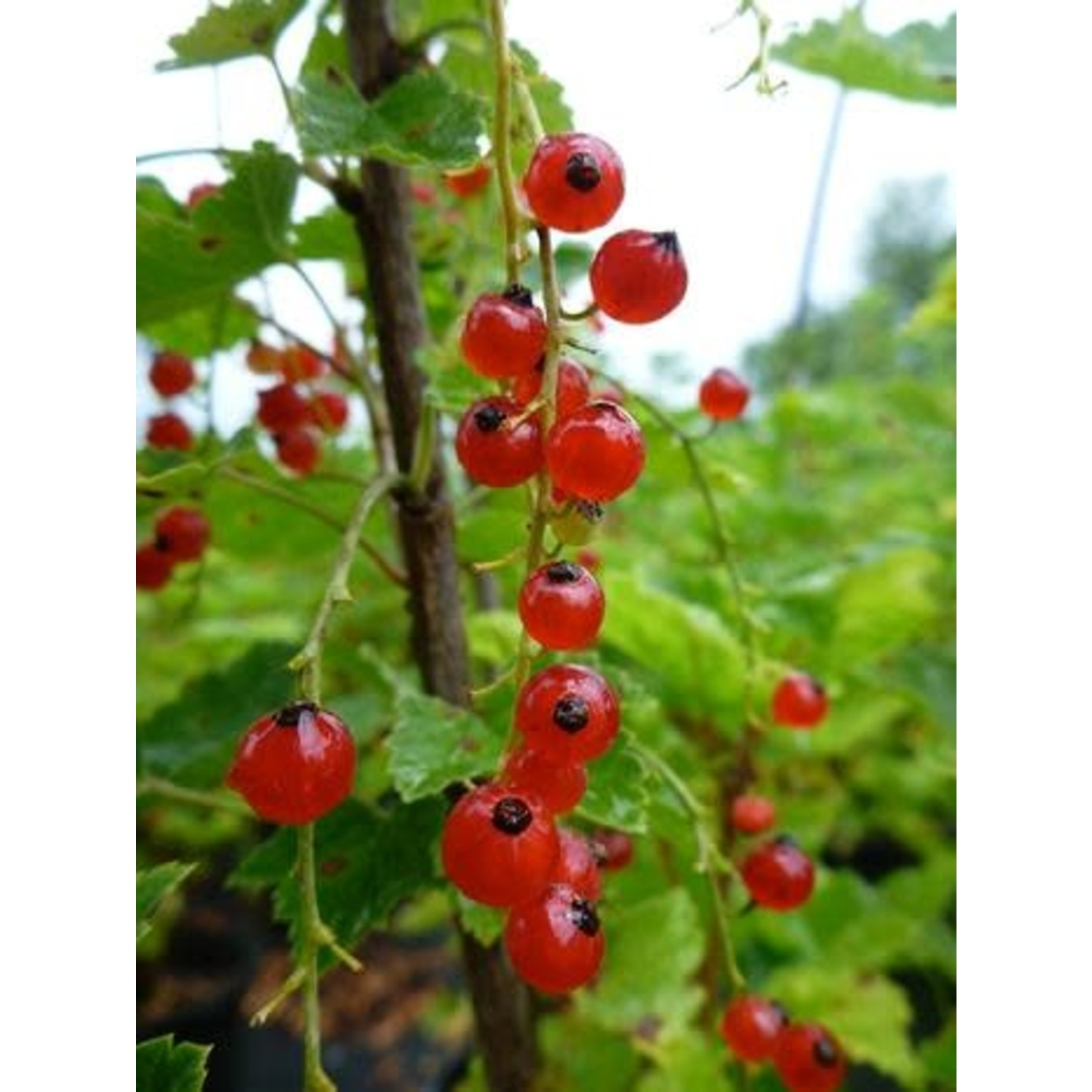 Currant 'red lake' - 2 gal
