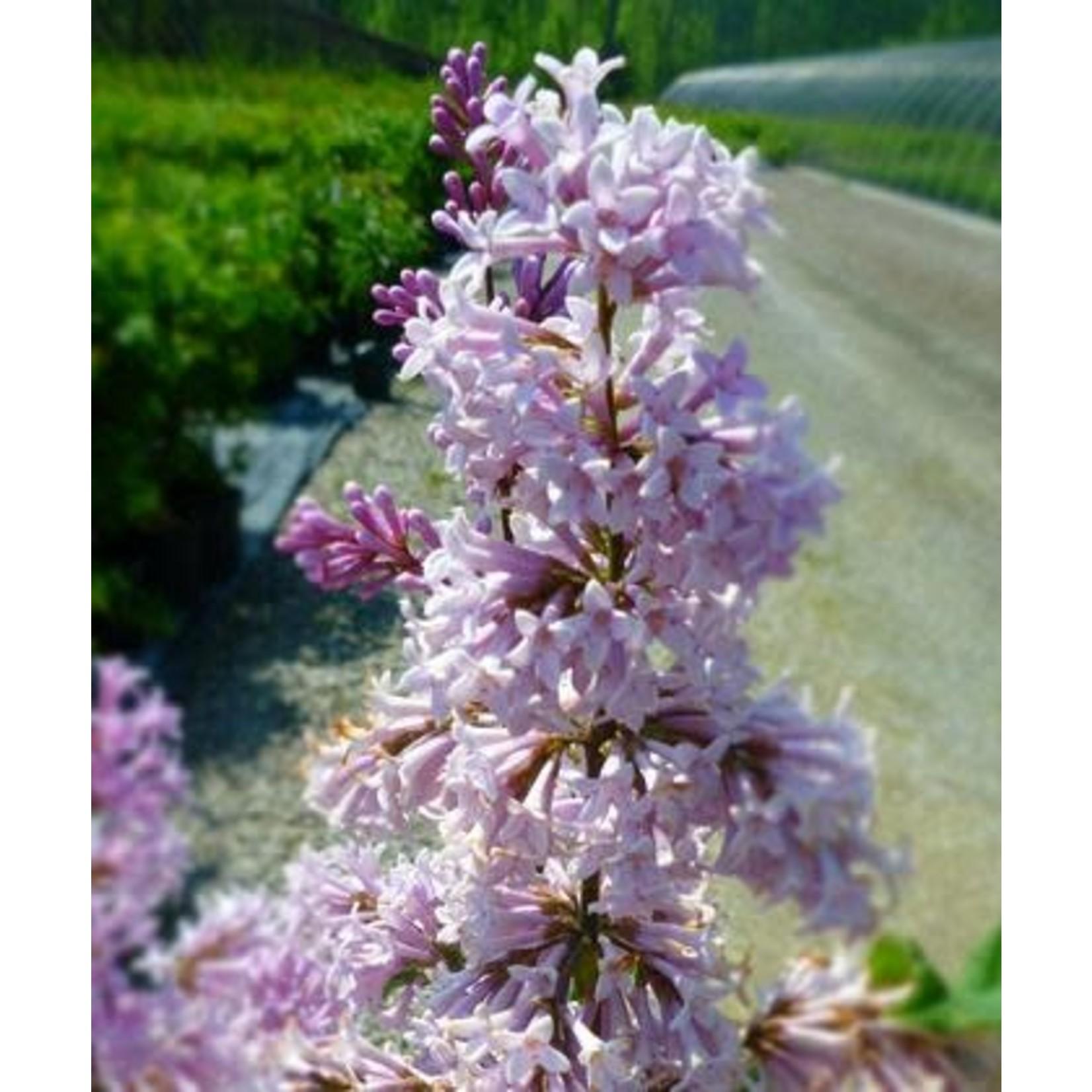 Lilac 'saugeana' - 3 gal