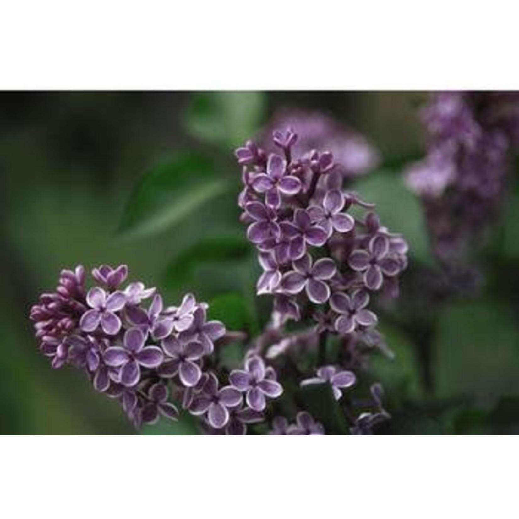 Lilac 'sensation' - 3 gal