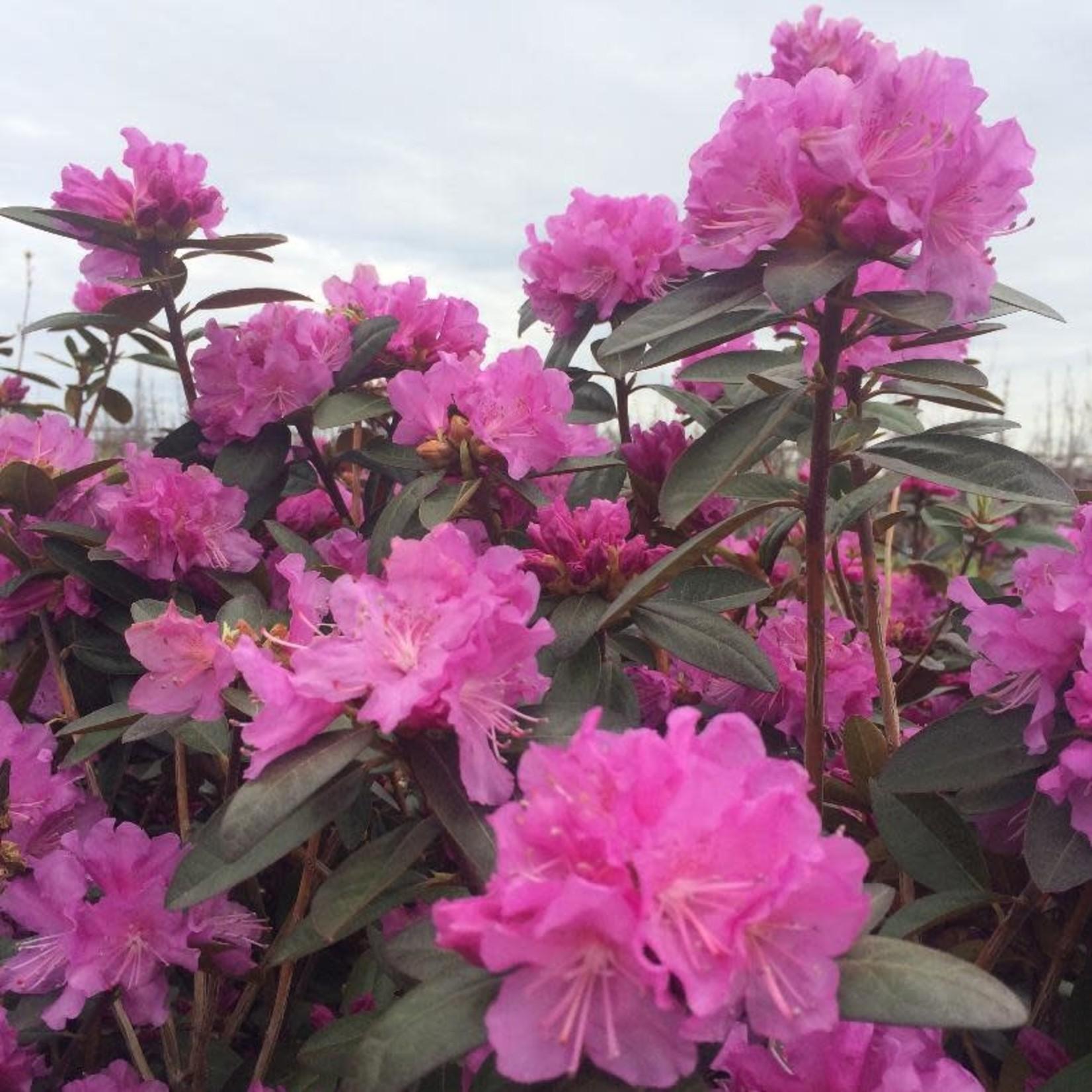 Rhododendron 'P.J.M. elite' - 3 gal