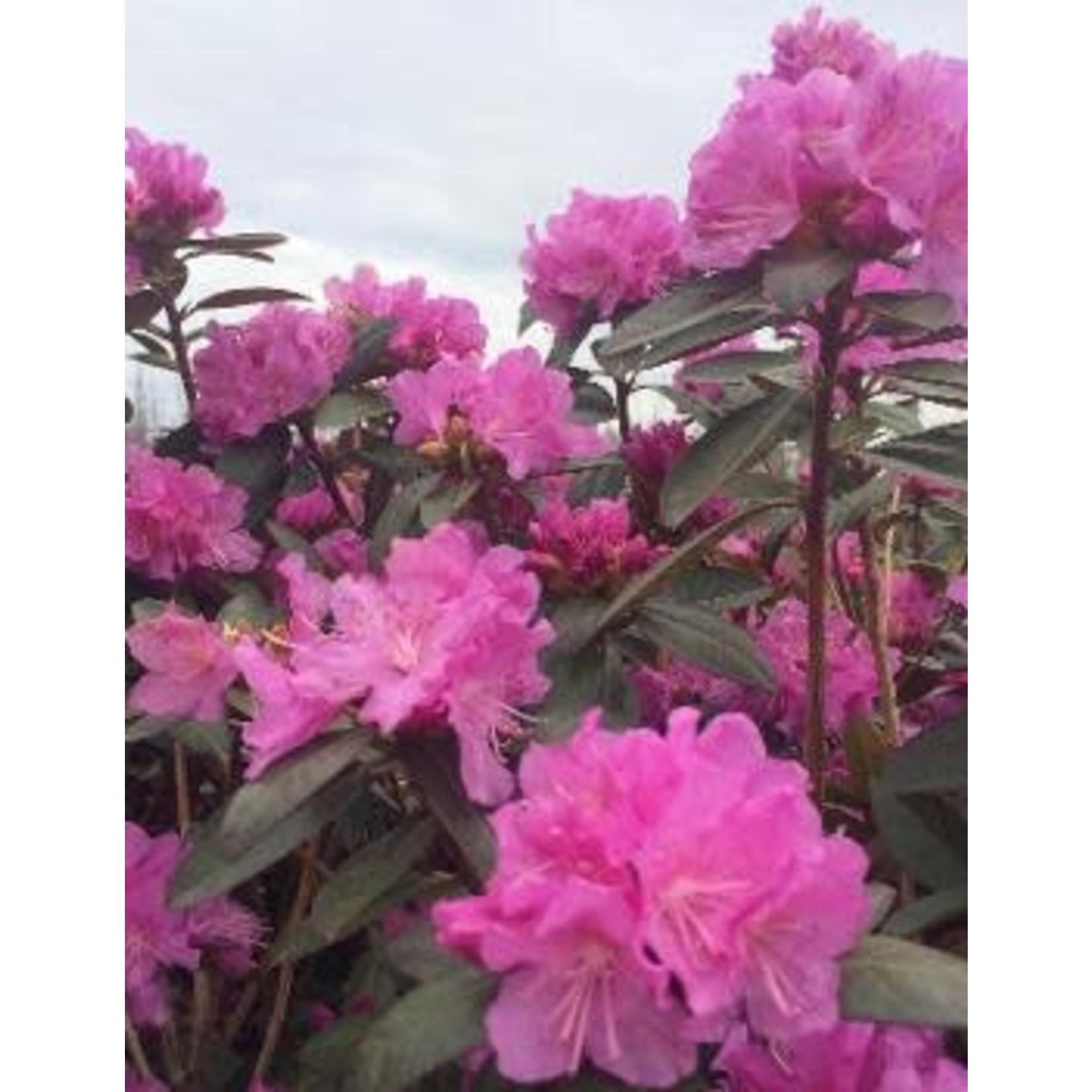 Rhododendron 'P.J.M. elite star' - 3 gal