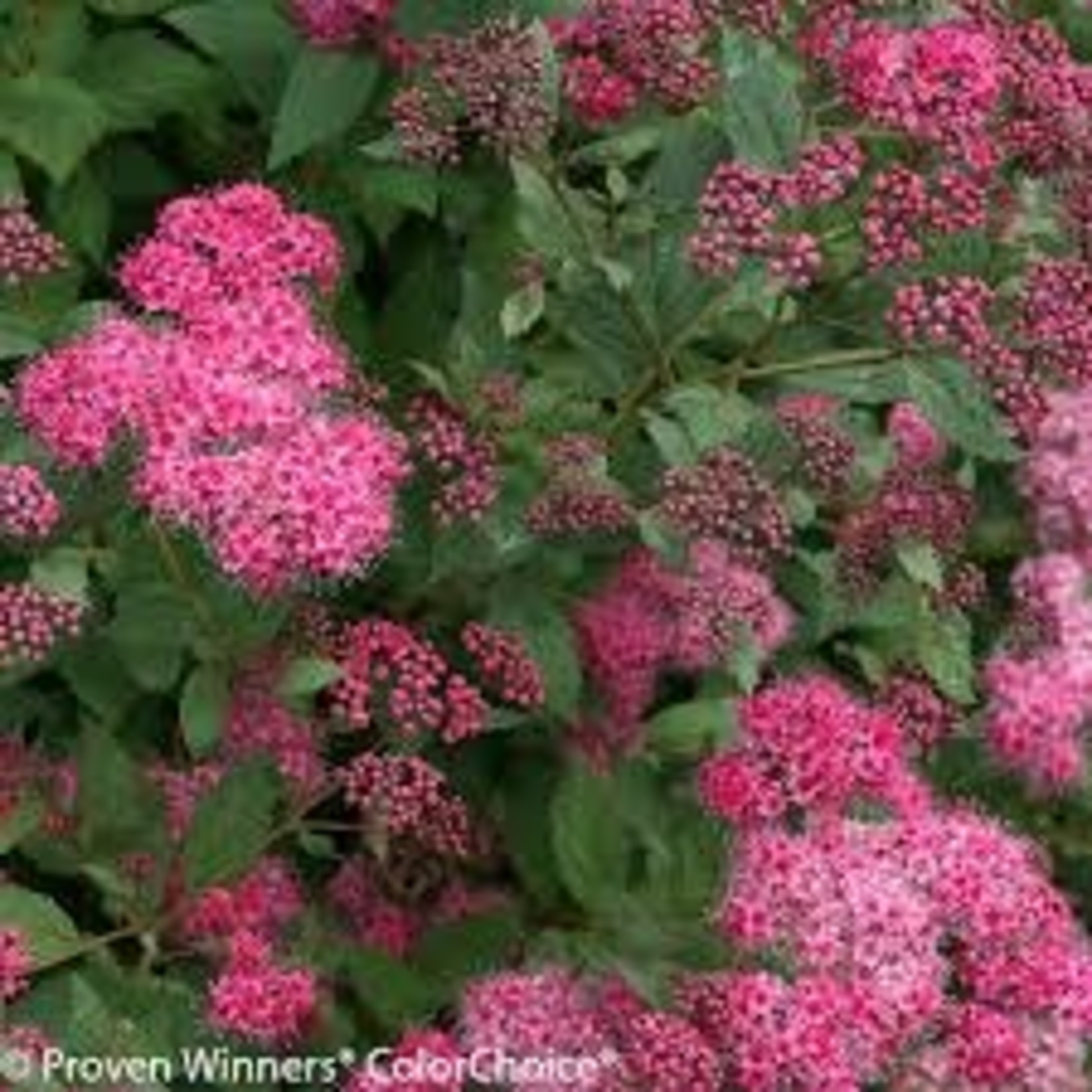 Spirea 'double play pink' - 3 gal