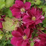 Clematis 'red star' - 1 gal