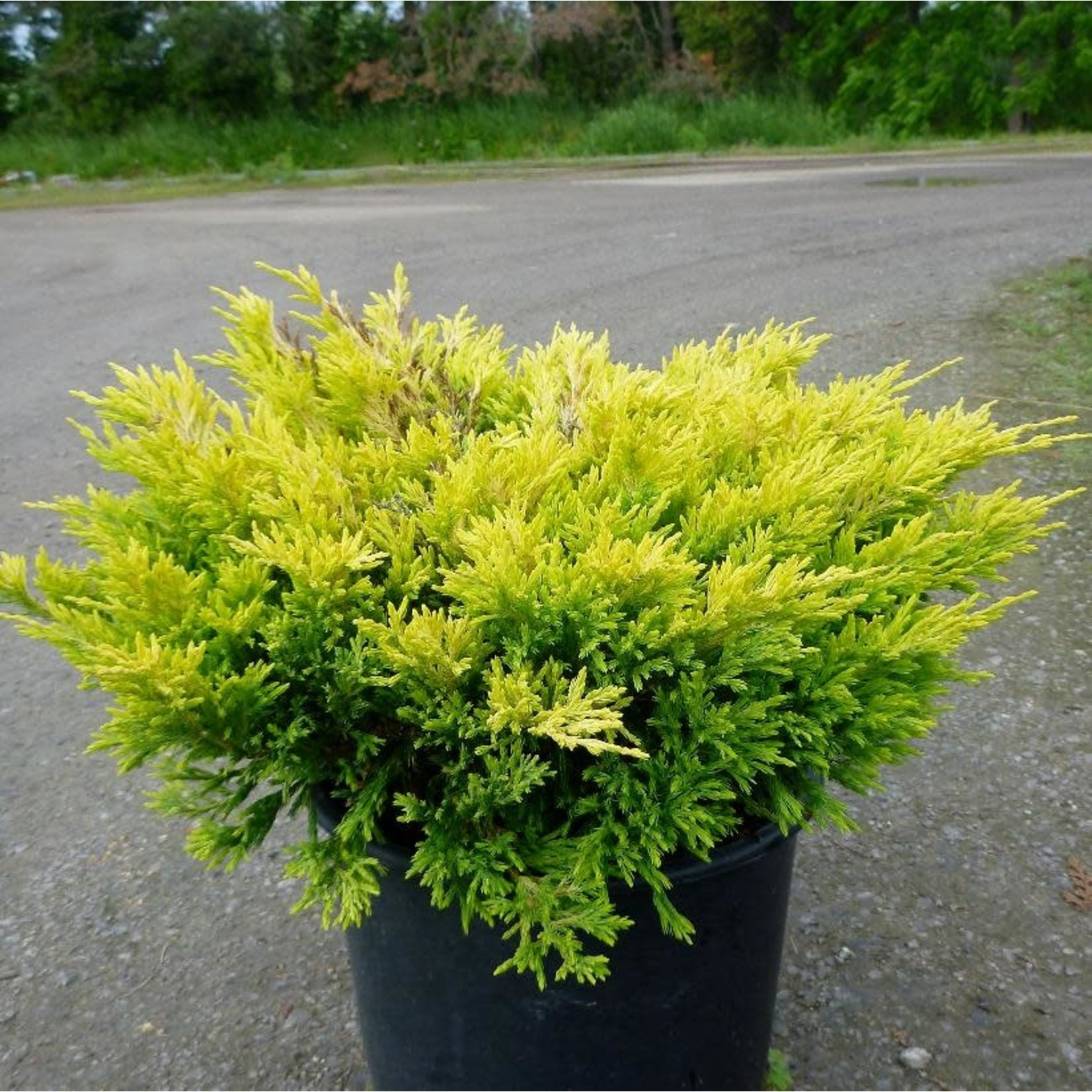 Juniper 'limeglow' - 2 gla