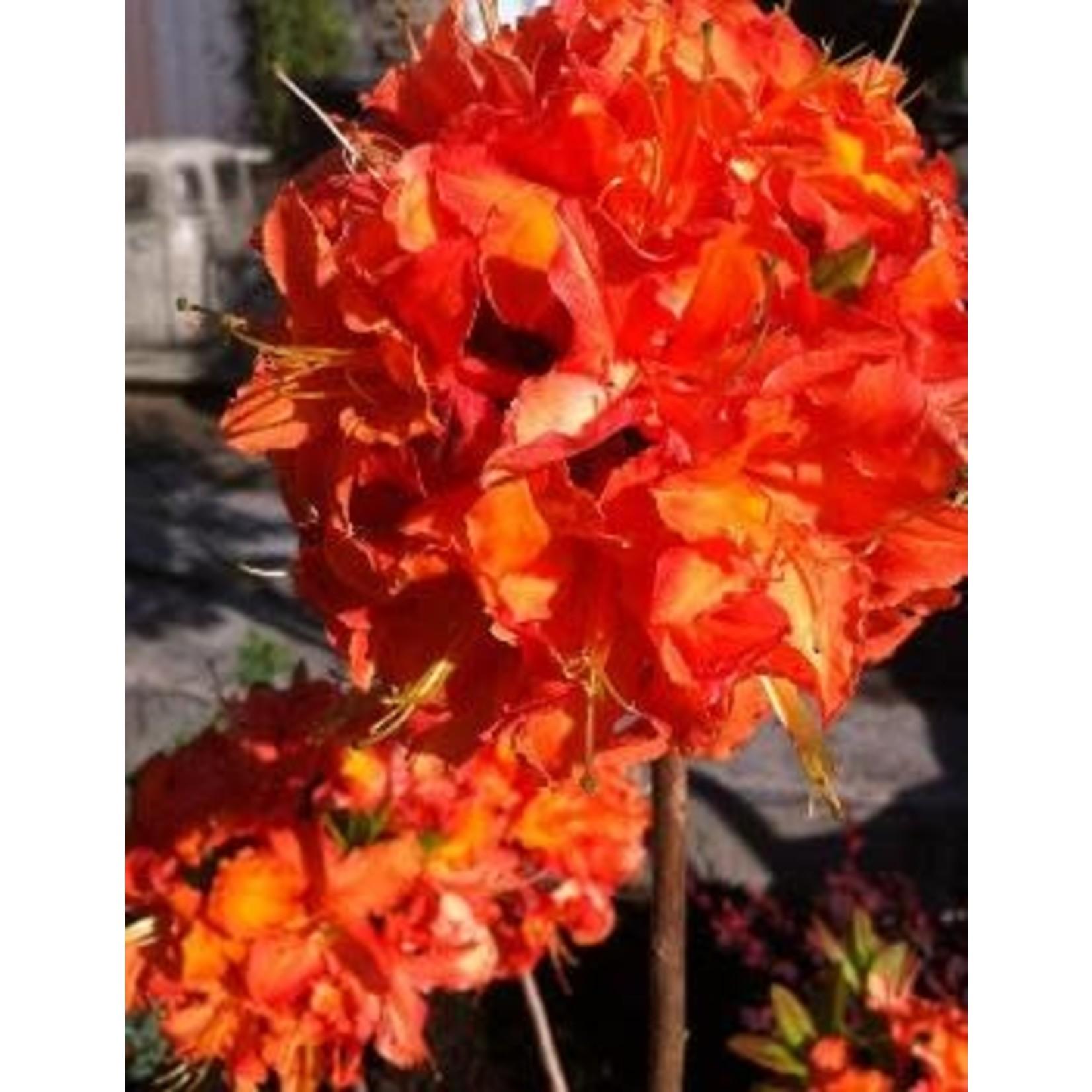Azelea 'mandarin lights' - 2 gal