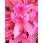 Azelea 'rosy lights' - 2 gal