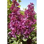 Lilac 'monge' - 3 gal
