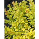 Barberry 'sunsation' - 2 gal