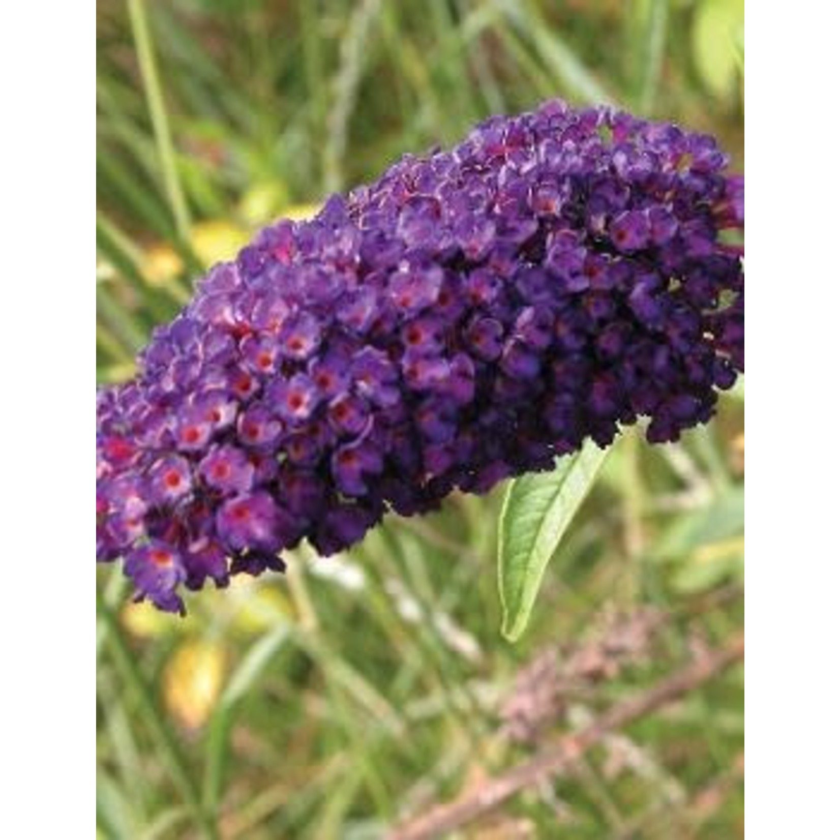 Butterfly Bush 'black knight' - 2 gal