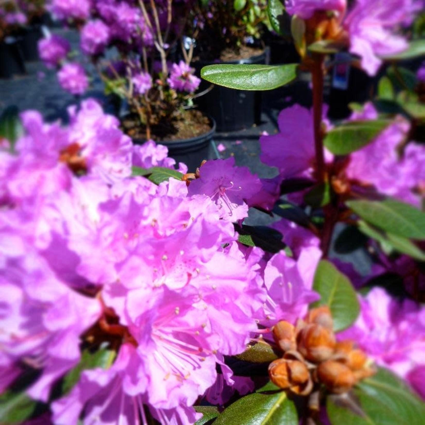 Rhododendron 'P.J.M. regal' - 3 gal