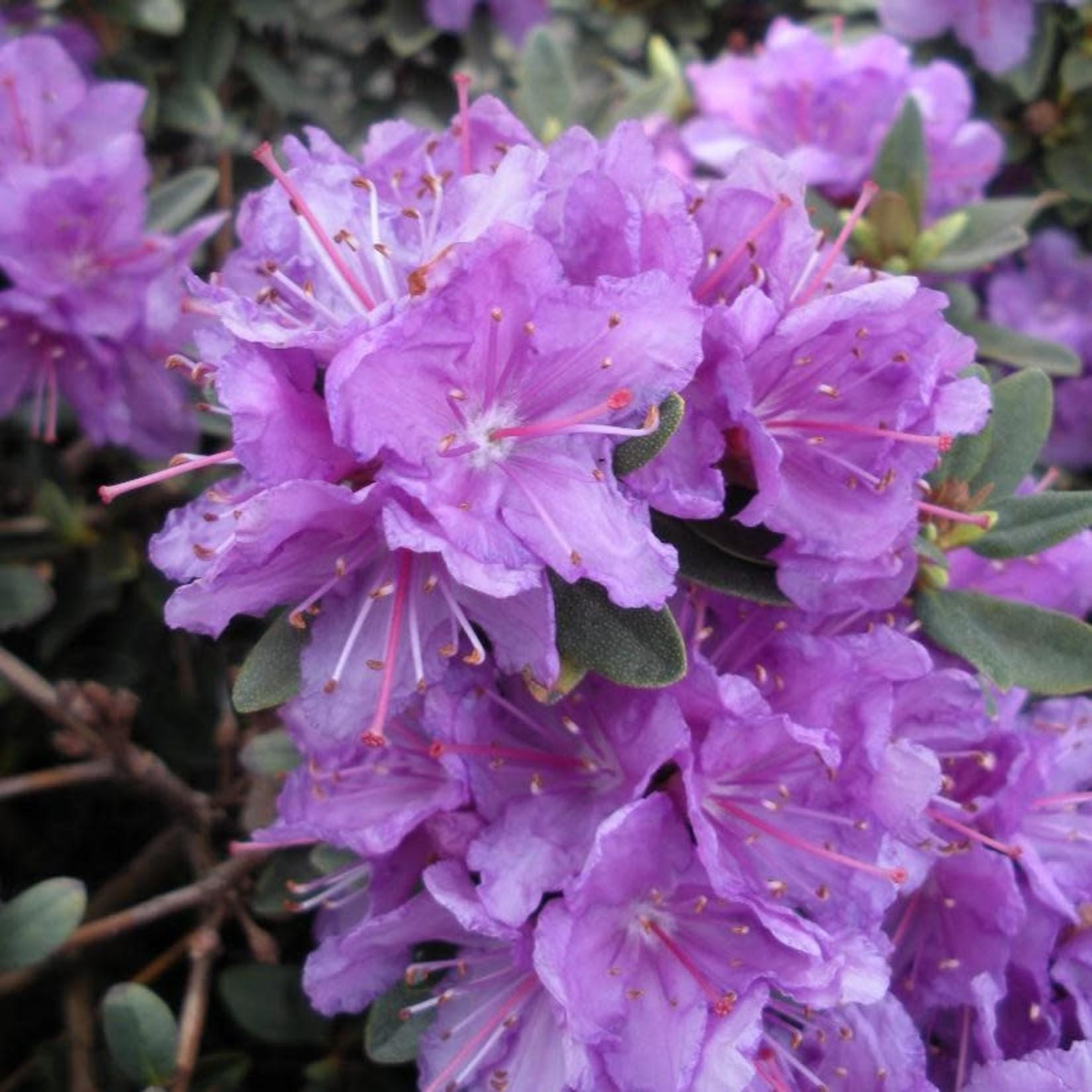 Rhododendron 'purple gem' - 3 gal