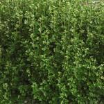 Gooseberry 'jahn's prairie' - 2 gal