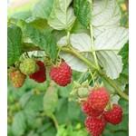 Raspberries Rubus 'williamette' - 2 gal
