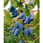 Haskap 'berry blue' - 2 gal