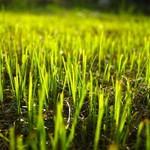 Grass Seed & Clover