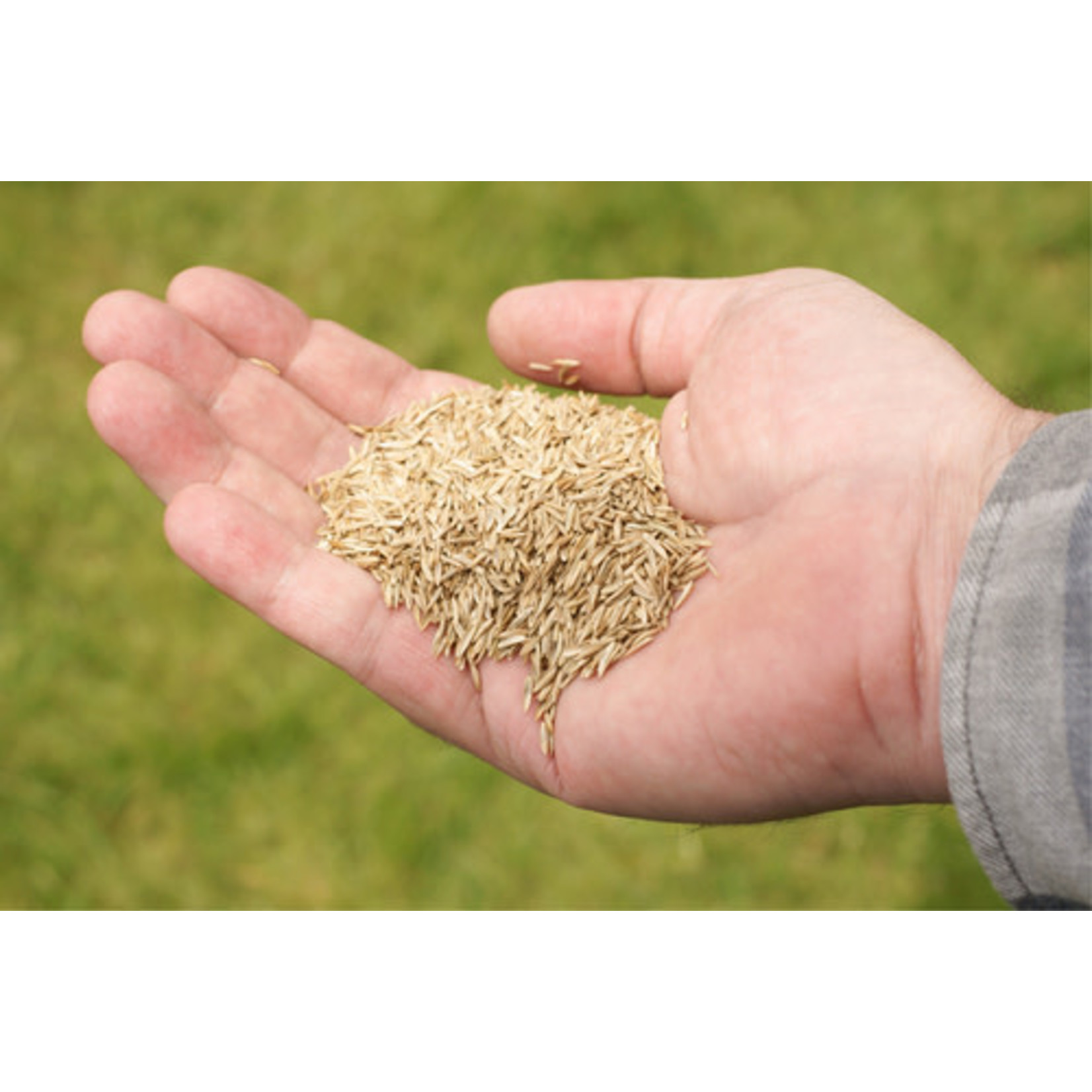 Grass Seed: MTO Mixture
