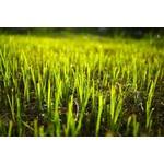 Gass Seed: Envirogreen 1000 Turf Mixture