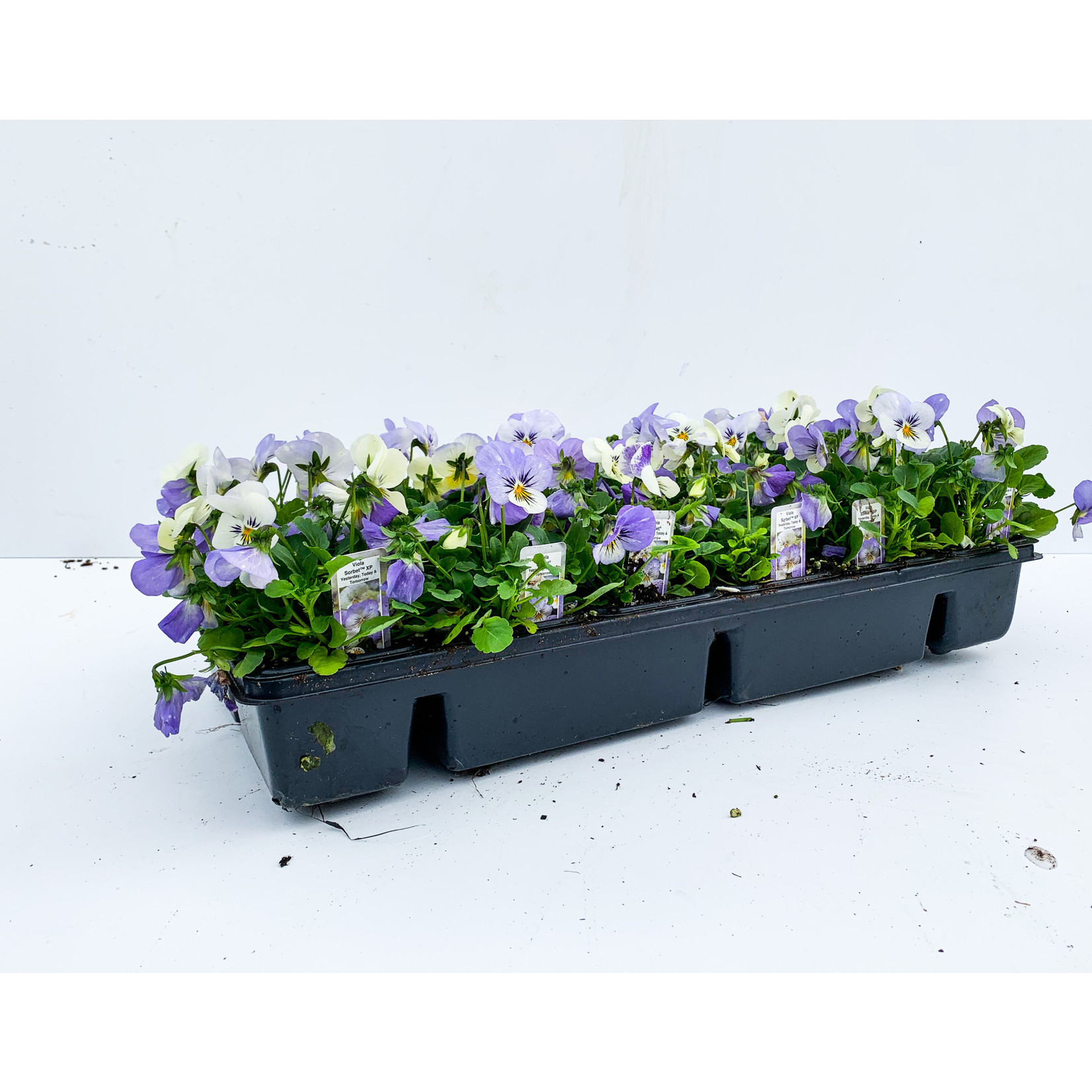 Viola - Sorbet