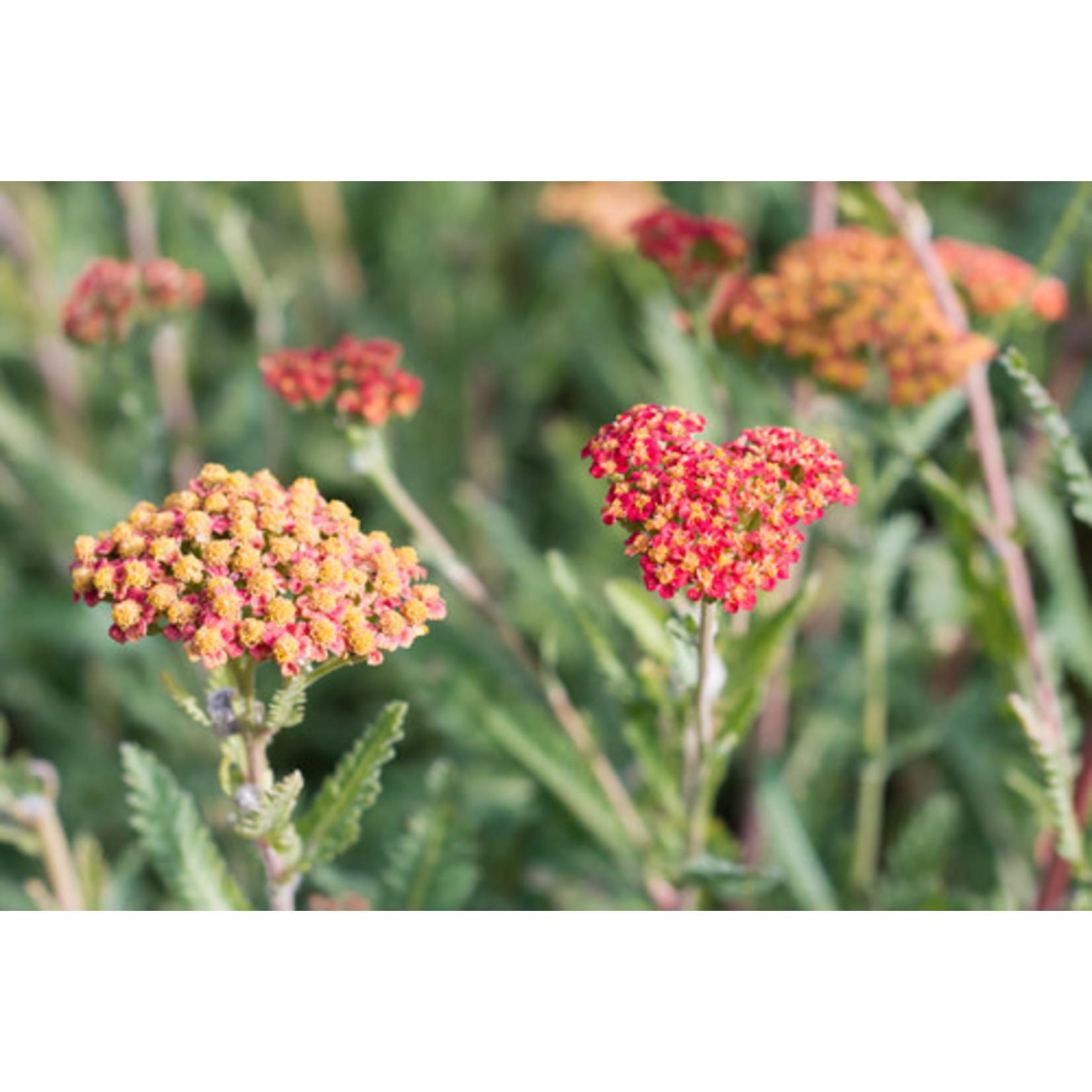 """Yarrow 'summer berries' - 4"""""""