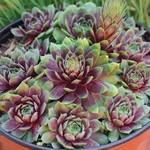 """4"""" Perennial\ Hens and Chicks - Sempervivum Ruby/Red Heart - 4"""""""