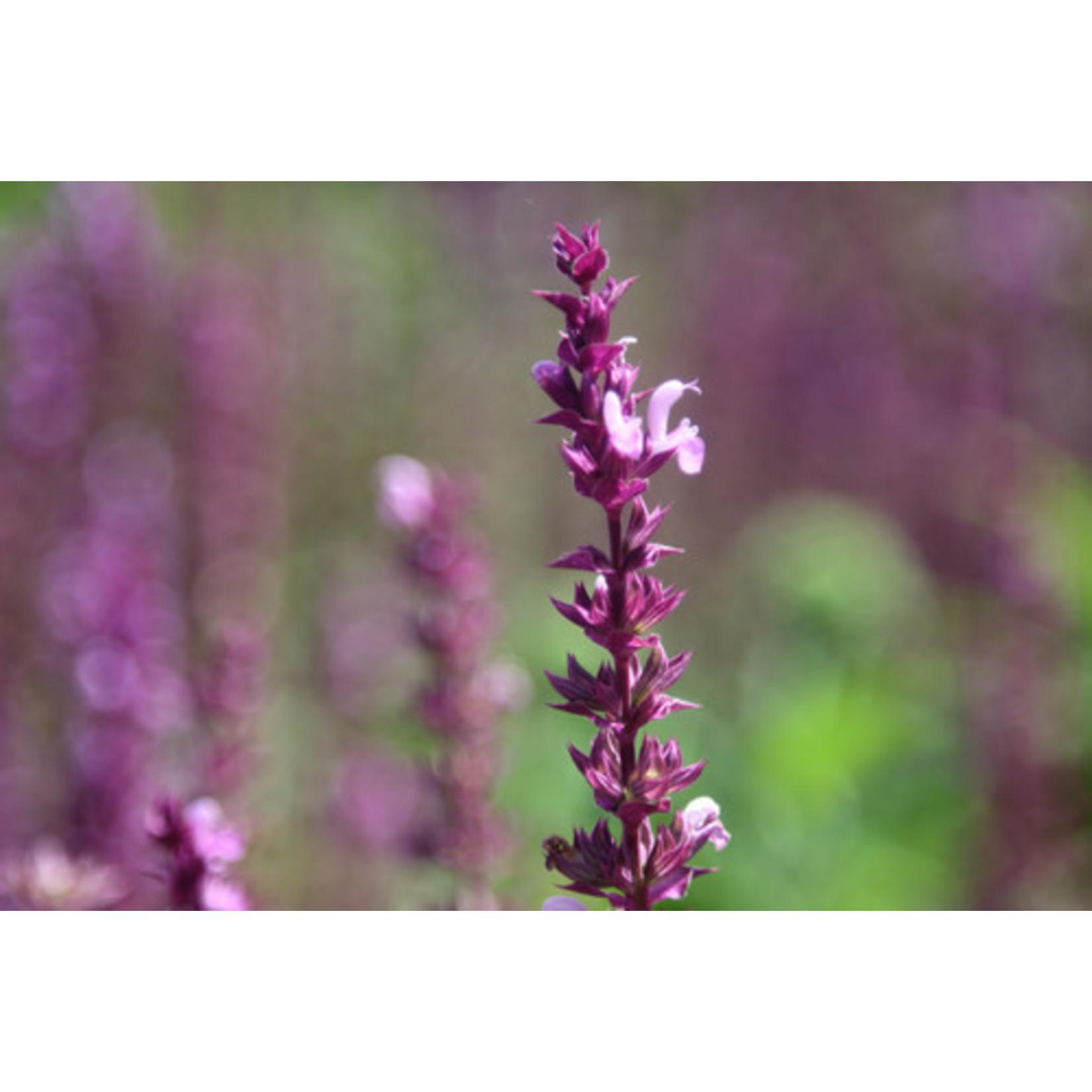 Lavender - Lavandula Sensational - 1 gal