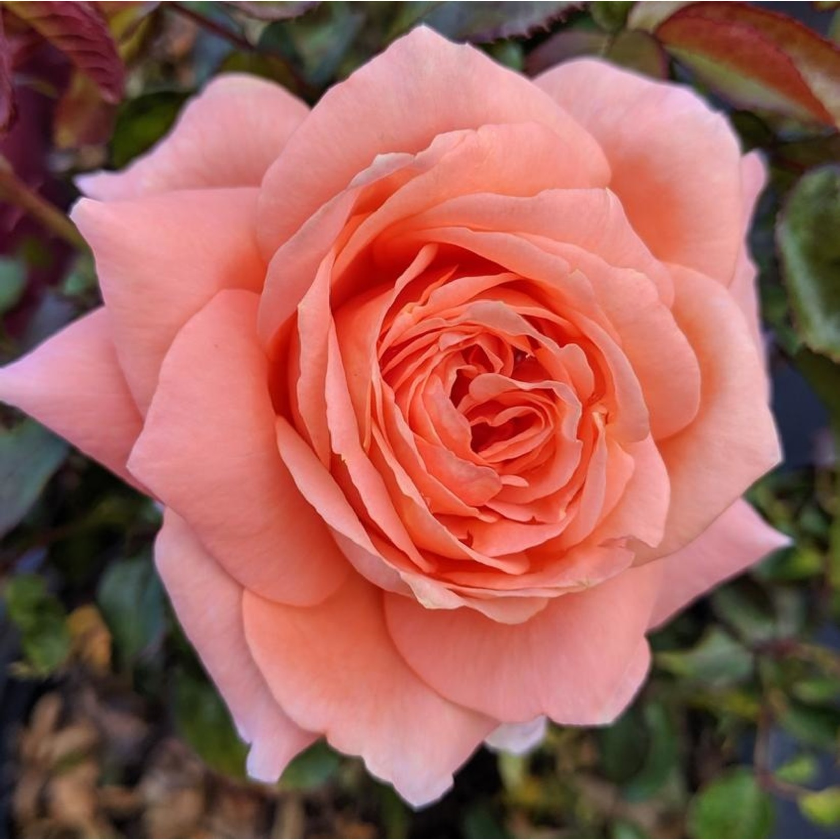 Rose - Sweet Fragrance - 2 gal