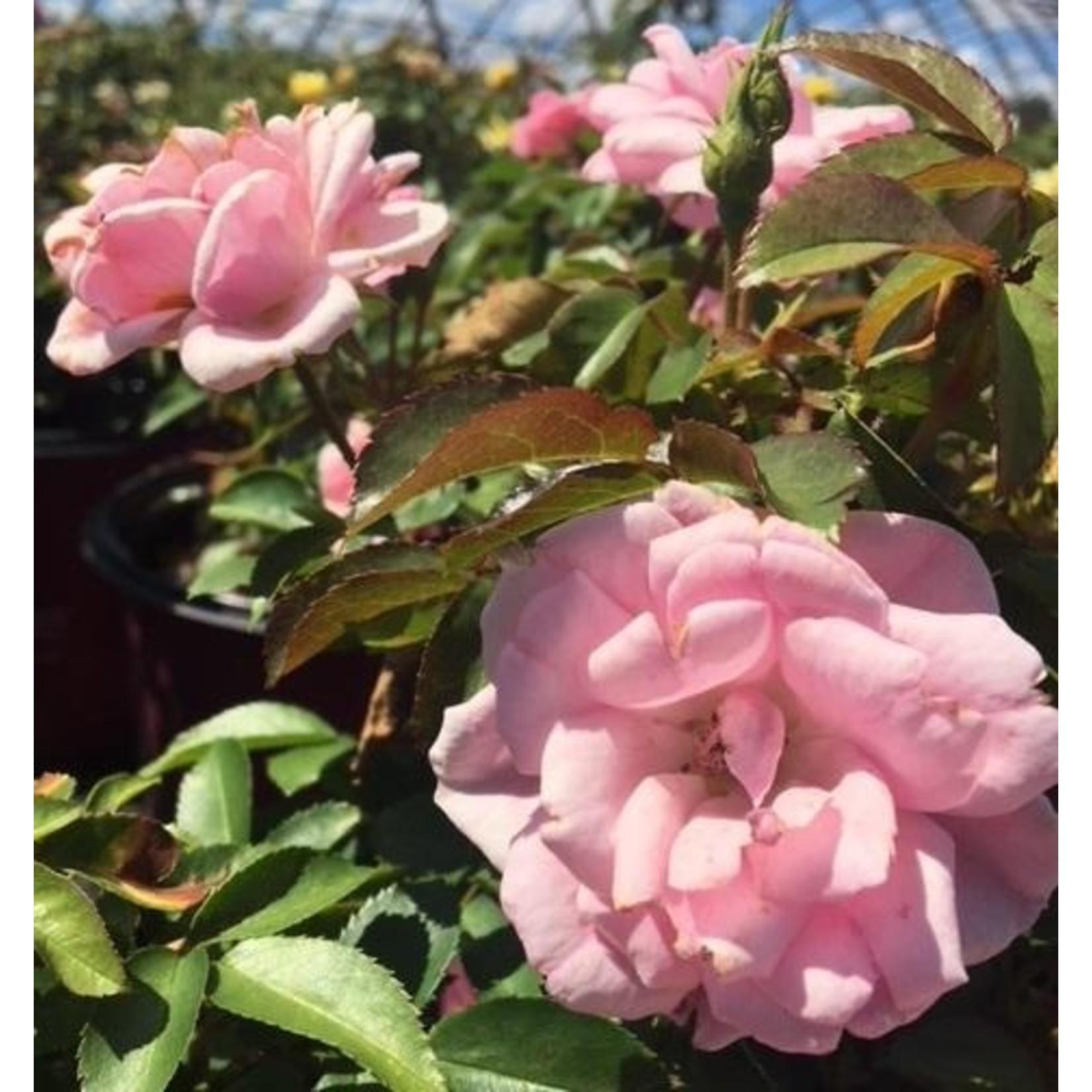 Rose - Pinktopia 'baimas' - 2 gal