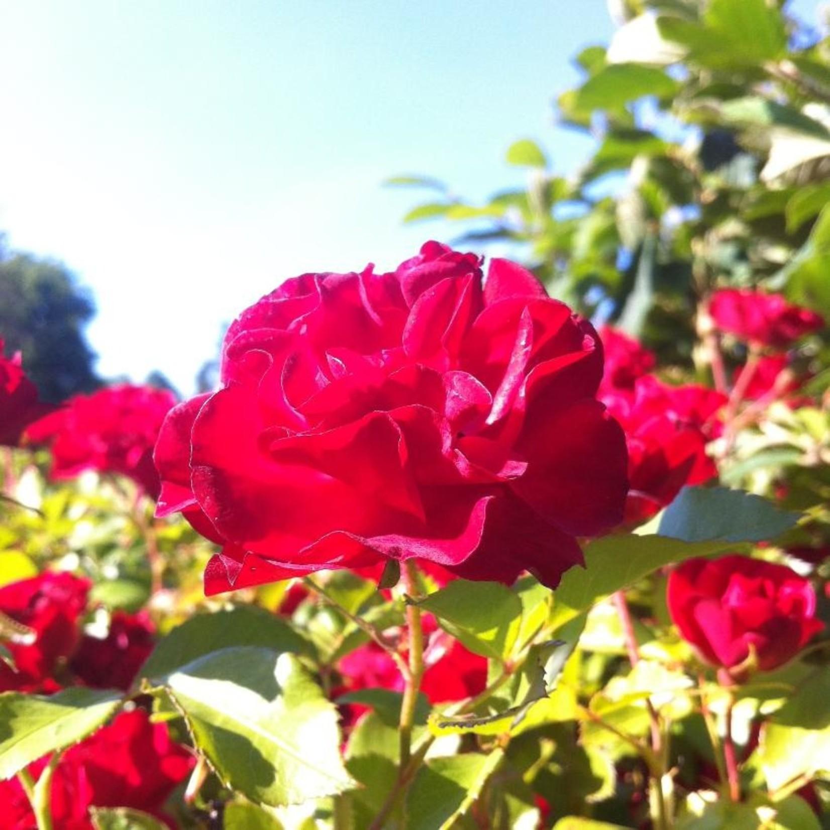 Rose - Mystic Fairy - 2 gal