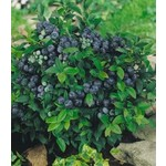 Blueberry - Vaccinium St. Cloud - 2 gal