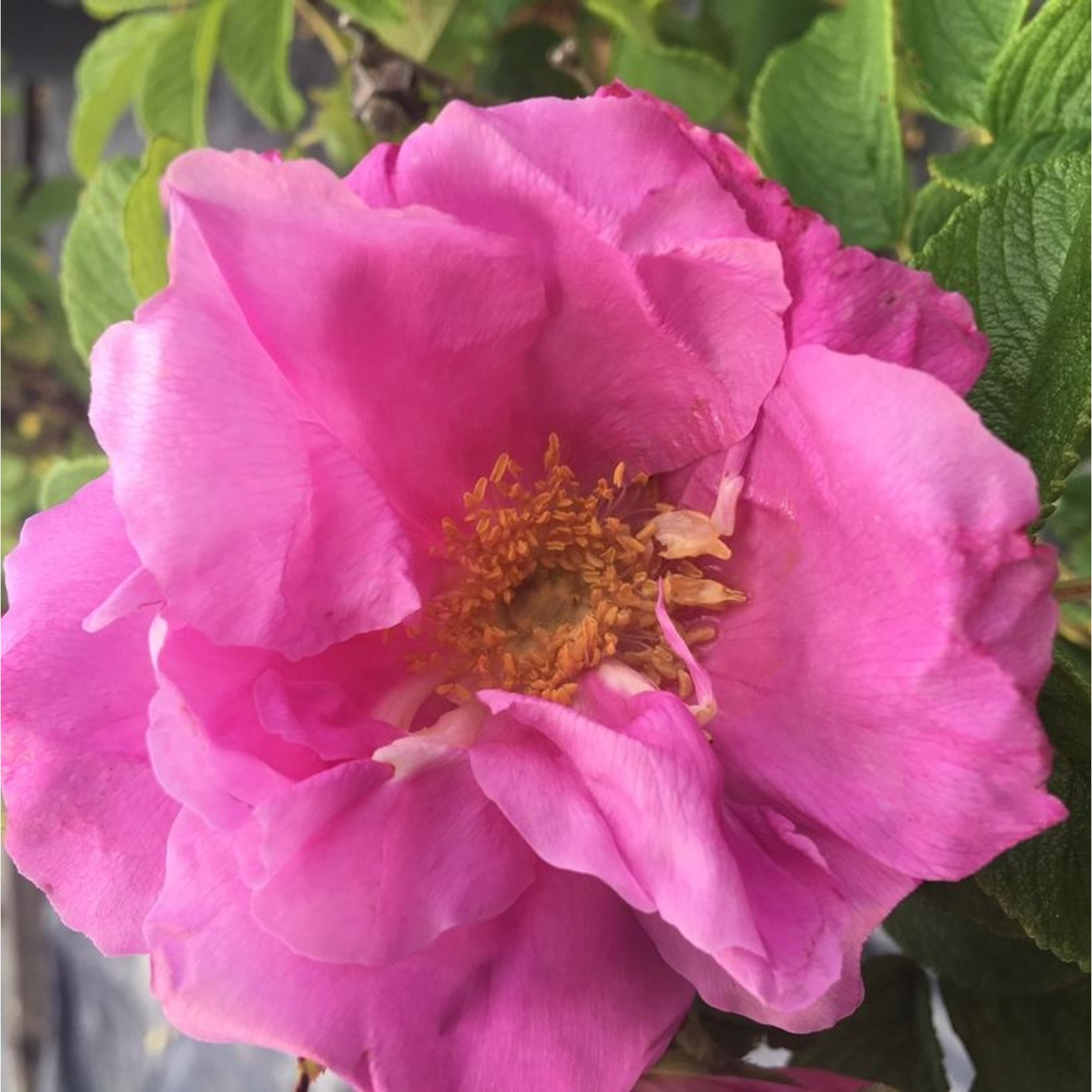 Rose - Dwarf Pavement - 2 gal