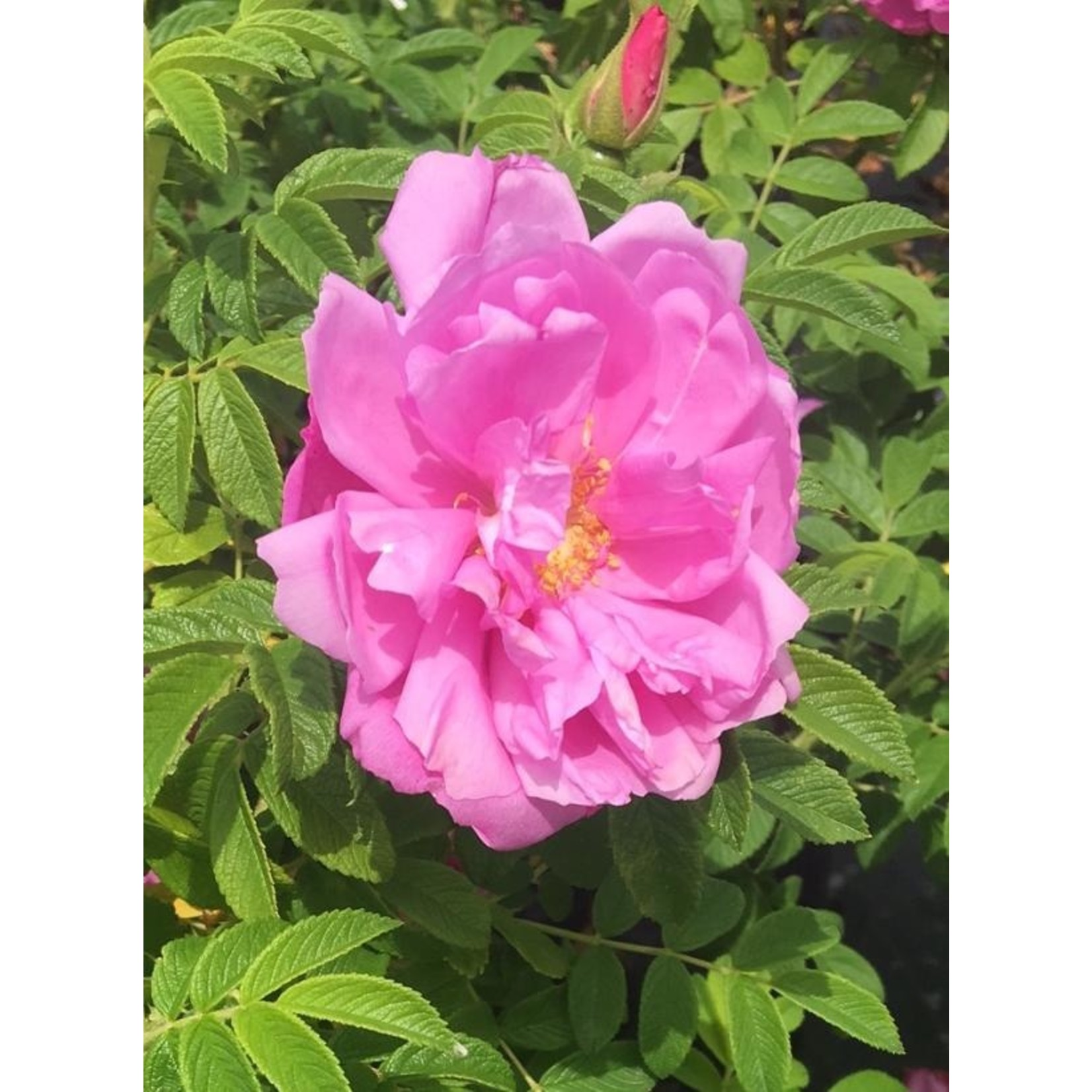 Rose - Showy Pavement Pink - 2 gal