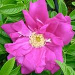 Rose - Purple Pavement - 2 gal