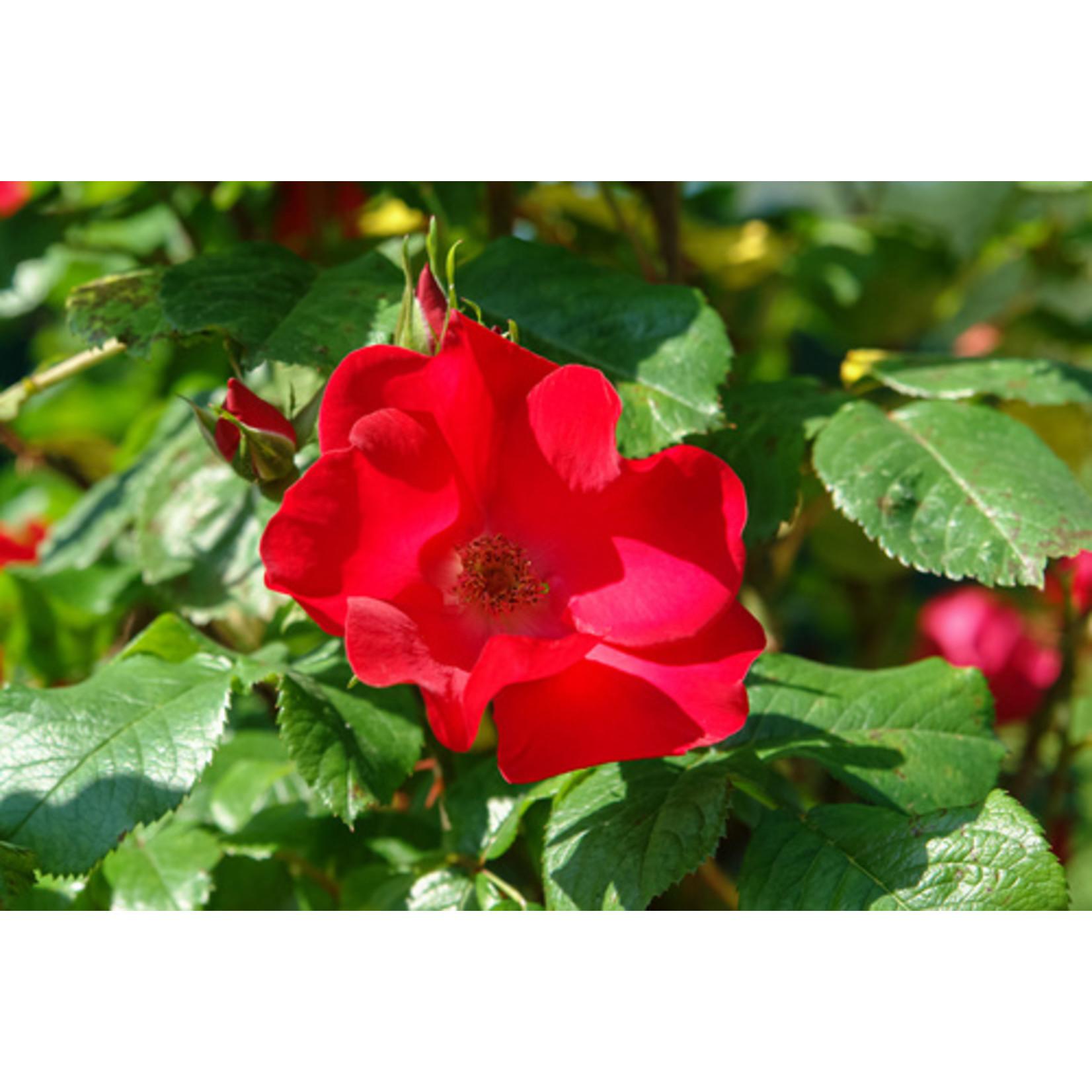 Rose - Robusta Red - 3 gal