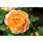 Rose - At Last - 2 gal