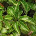 Ivy - Engelman's - 2 gal