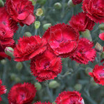 """4"""" Perennial\ Dianthus Electric Red"""