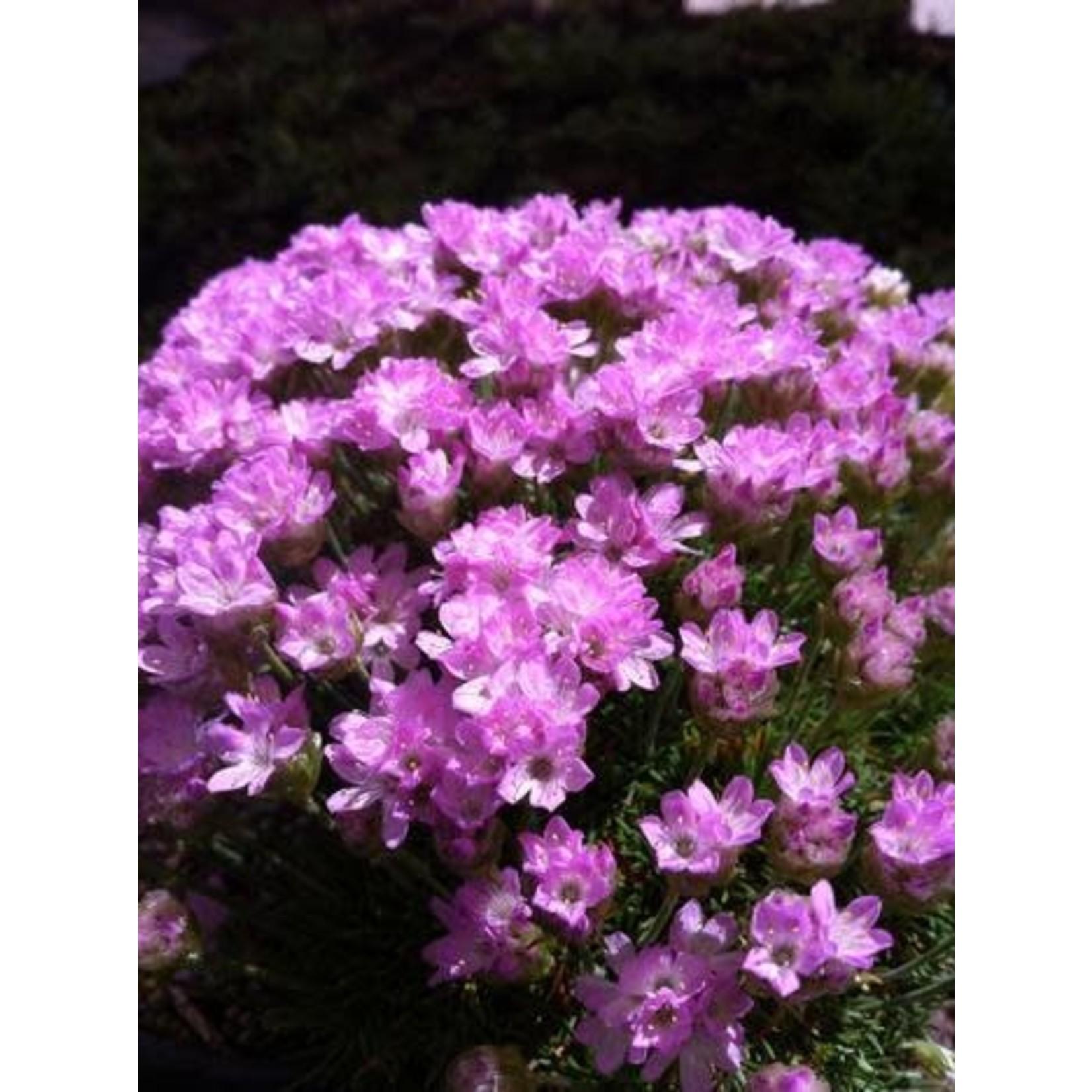"4"" Perennial\ Thrift - Armeria Juniperifolia"