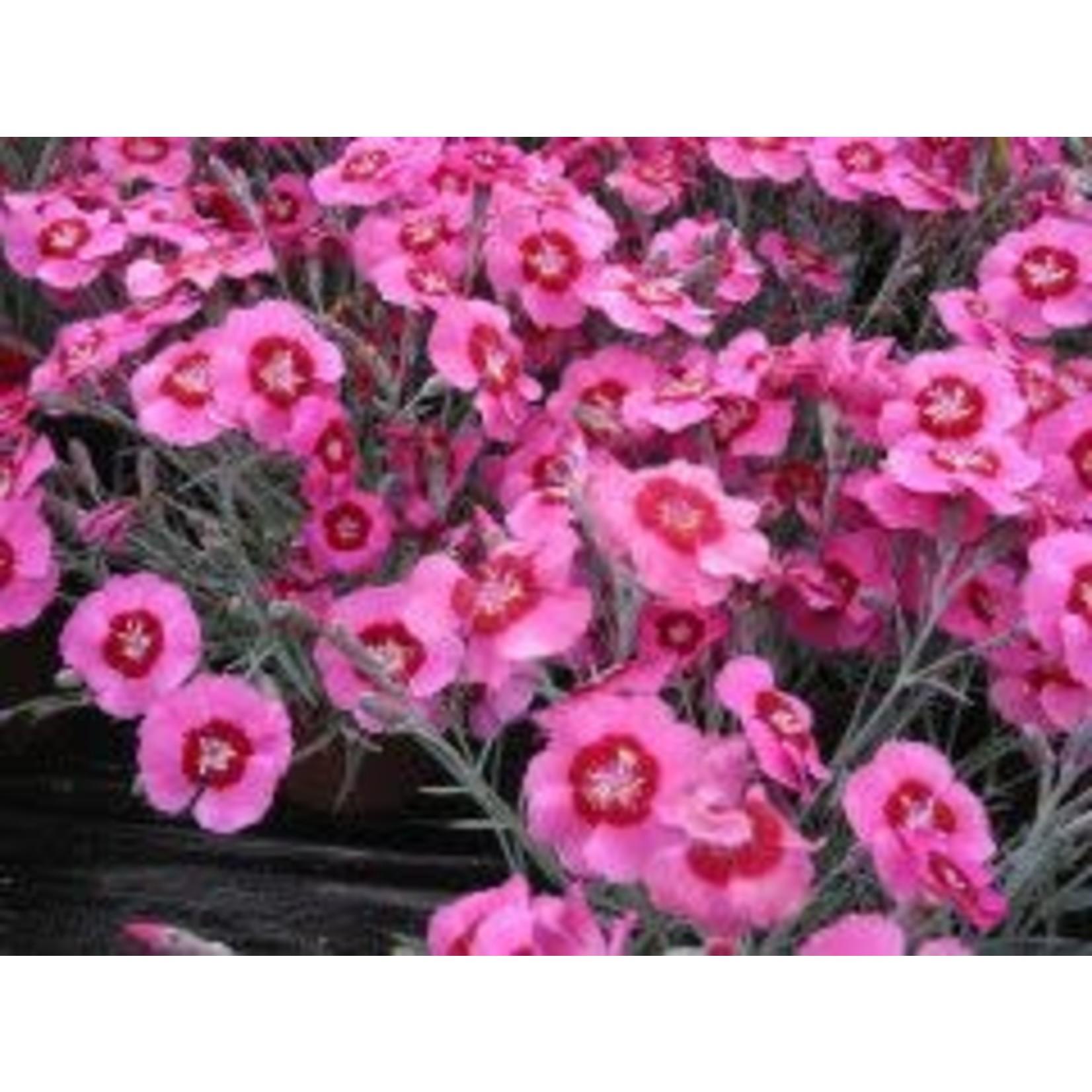 "4"" Perennial\ Dianthus 'peppermint star'"