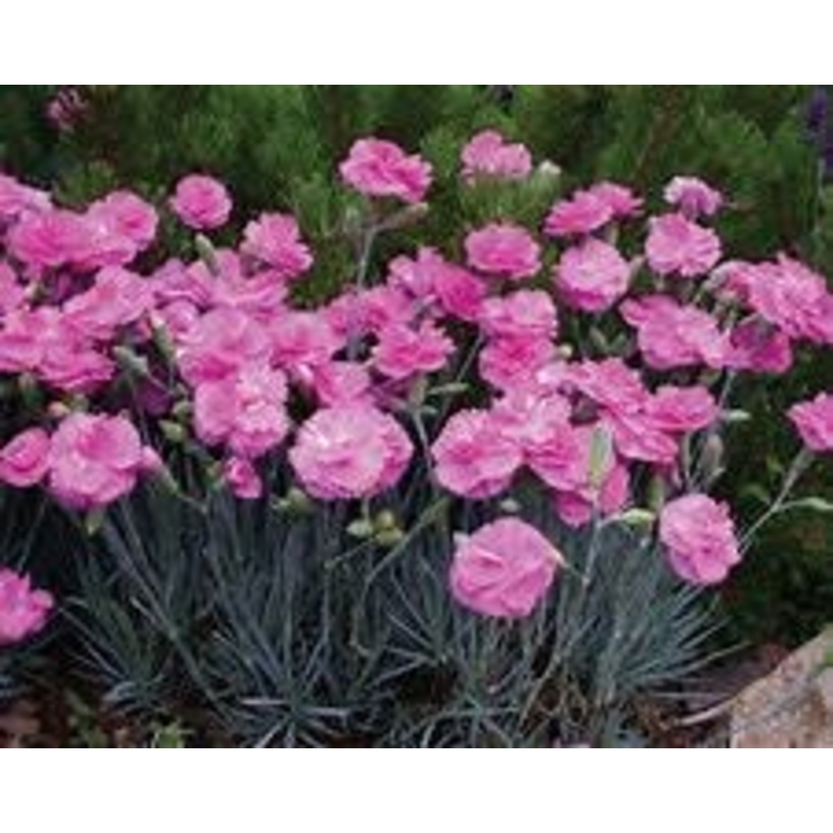 """4"""" Perennial\ Dianthus 'tickled pink'"""